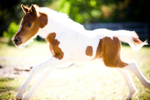 Foal - A pinto foal running.