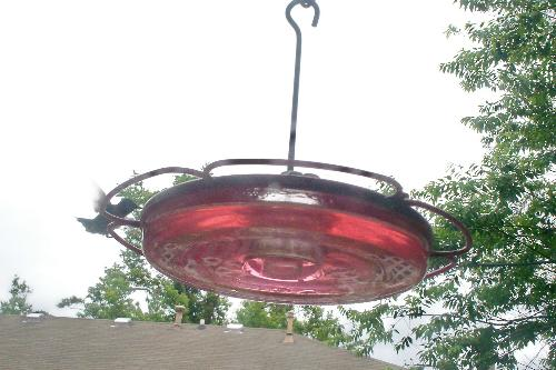 Hummingbird Feeding - Likes the nectar