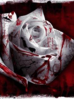 Beautiful Rose - Rose is my favorite flower, it smells sweet.