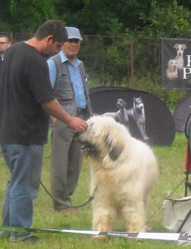 Romanian Shepherd Mioritic - at CACIB Sibiu 2011