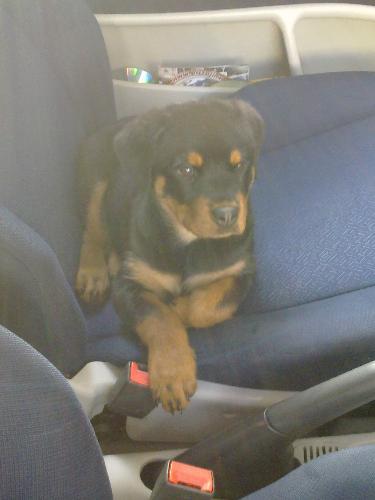 Rottweiler - A very strong dog