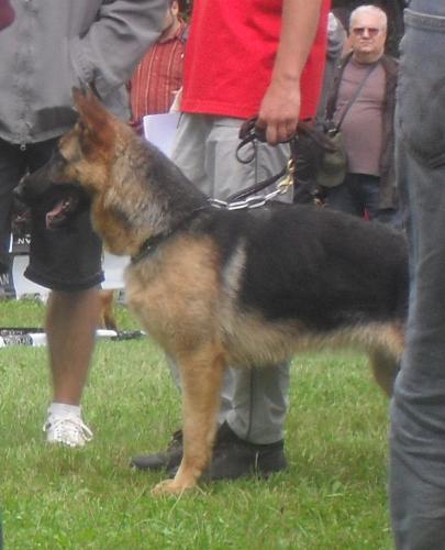 German Shepherd - at CACIB Sibiu 2011