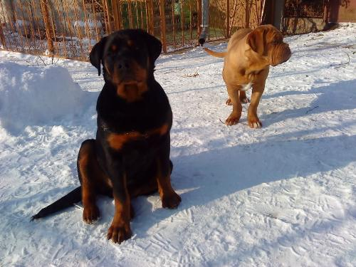 Rottweiler - One of the breeds I like the most