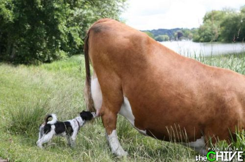 What is this? - This dog is checking out this cow's utter. Maybe the dog wants a snack?