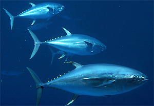 Tuna - There is more then one species of tuna.