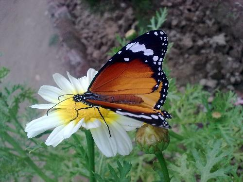 butterfly pic captured by me using my nokia mobile - captured by me last month in morning..