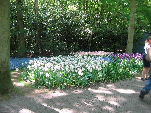 Tulip Garden - Tulip garden @ holland opens only from 3rd week of March to 3rd week of May.