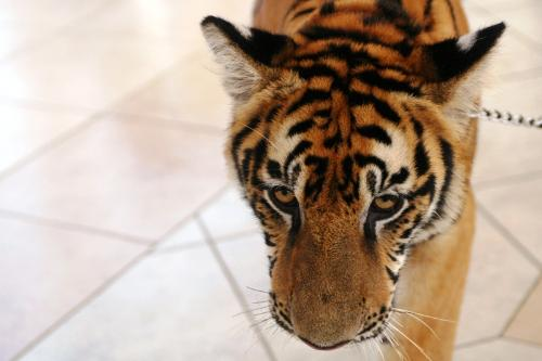 tiger - A politician in the Philippines pet tiger.