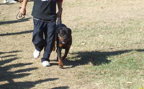 Rottweiler - A dog that I like