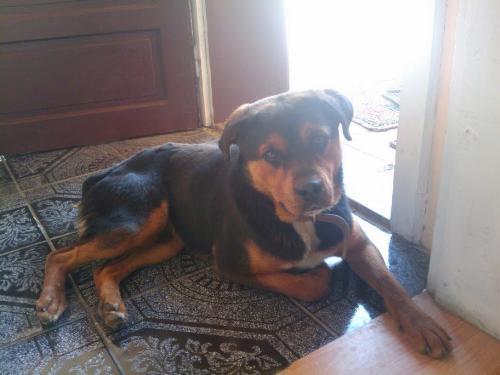 Rottweiler - A dog that I like
