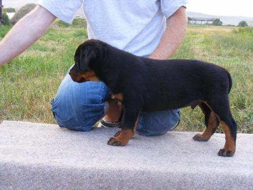 Rottweiler - This is a dog that I like
