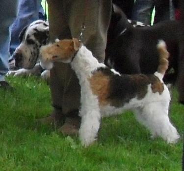 Fox Terrier - at CACIB Sibiu 2011