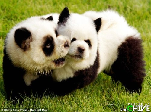 Panda Cubs - They are so cute and adorable!