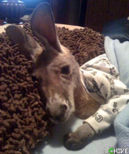 Kangaroo - A baby kangaroo ready for bed.
