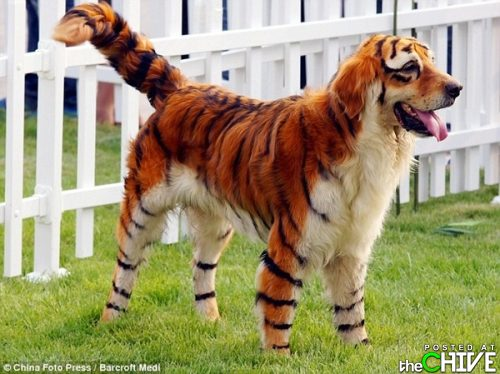 Tiger dog - This dog was painted up to look like a tiger!