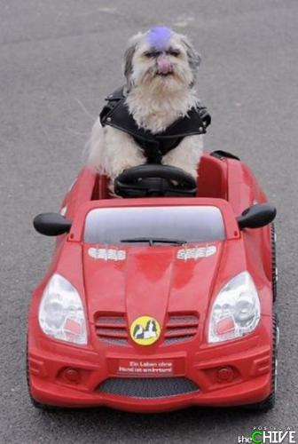 Ready to roll! - This dog looks like it is ready to hit the highway in his sports car!