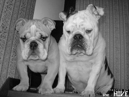 Bulldogs - Bulldogs are so ugly they are cute!lol!