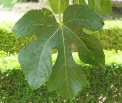 Fig leaves - My new dress code