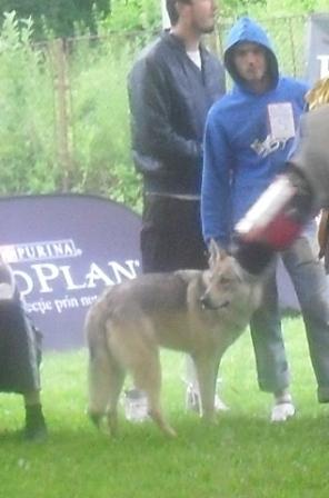 Czech Wolf - at CACIB Sibiu 2011
