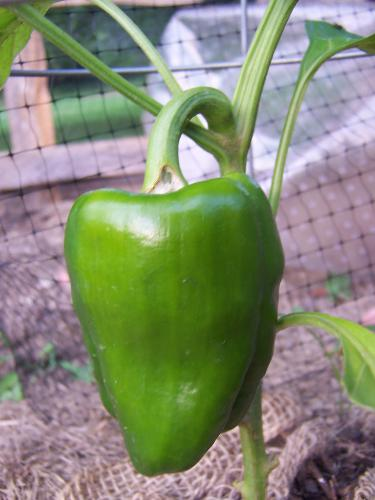 health - One of my peppers.