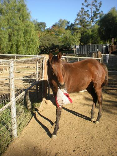 I rather play! - This weaning filly wants to play with her fly mask instead of wearing it!