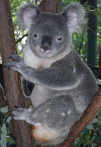 Koala - This is a male Koala. They only eat eucalepus leaves.