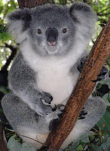 Koala - Female Koala. You can tell there is a little difference in appearance between the male and female.