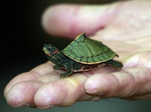 Turtle - A rare India turtle.