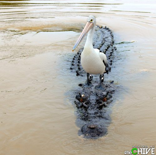 No way! - A peligan is riding on the back of an alligator!