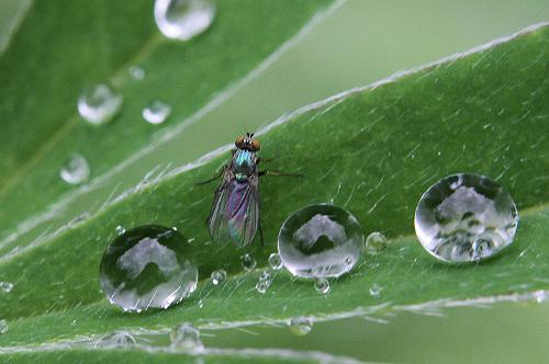 Fly and raindrops - Tiny fly between raindrops on a plant