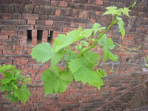 Aspirations - A grapevine aspiring to reach the sky.