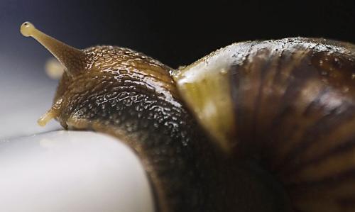 snail - a sluggish snail