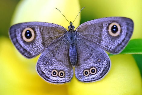 butterfly - a lavender butterfly