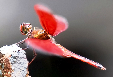 dragonfly - a red dragonfly