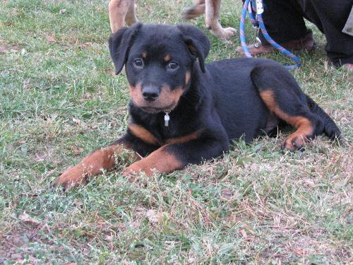 Rottweiler - A breed that I like much