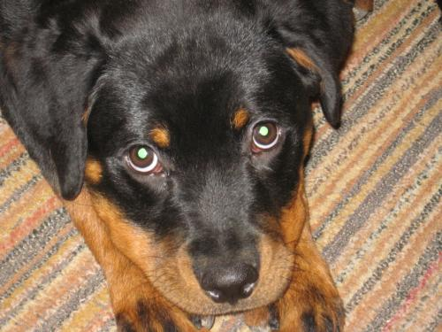 Rottweiler - a breed that I like