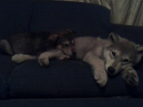 Scout and Kratos - My two wolf dogs when we first brought them home, they are much bigger than this now.