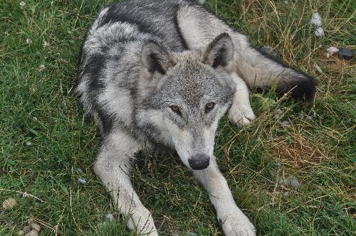 Kratos - 5 month old wolf hybrid. 98% Wolf.