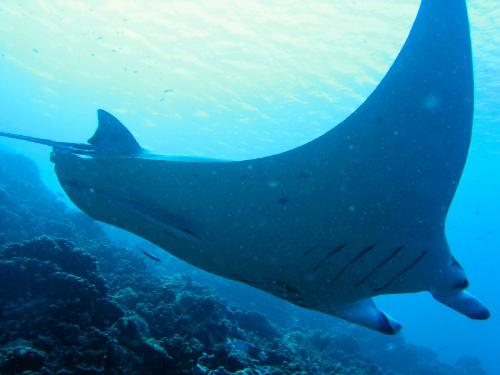 Bat Ray in the Lagoon Tahiti - The lagoon of French Polynesia waters are clear and the Bat Ray is one you may see swimming by