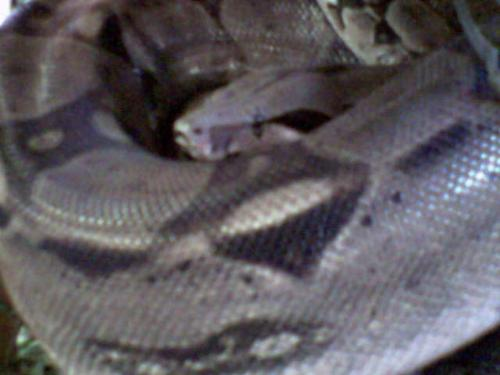 Julius - This is Julius - I'm pretty sure he's a boa constrictor, but honestly it's an old photo so he may well be a burmese python.