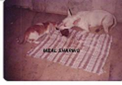 Rana our Bull Terrier - Rana gave us happy moments all through the years that he lived.
