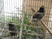 My pet bulbul - I recused this bulbul from mouth of crow last year. I feed it fruits and bread.Now its full grown. These birds make a wonderful pet.It is very loving and friendly.These are very common garden bird in Asia.