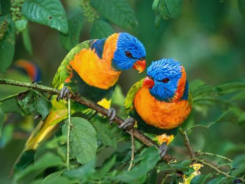 love birds - beautiful and colourful .All creatures understand the language and feelings of love.It is dedicated to happy couples.Godbless