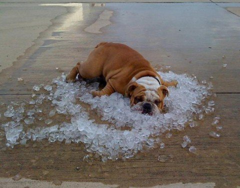 Bulldoog - A bulldog trying to keep cool by laying in some ice.
