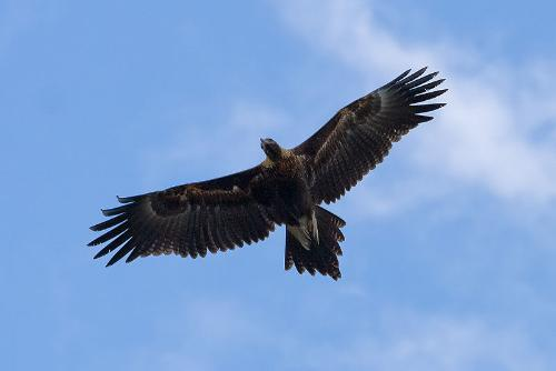 wedge tail eagle - A flying Wedge tail eagle
