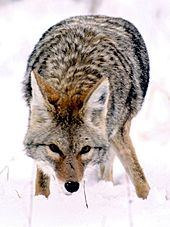 Coyote - A coyote in the snow.