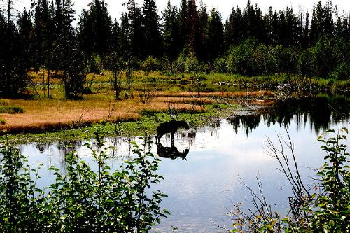 Moose in lake - A moose in a lake and you can see its reflection in the water.