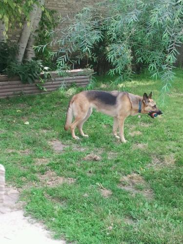Lena - Lena is the name of this German Shepard. She love tennis balls and that is what is in her mouth.