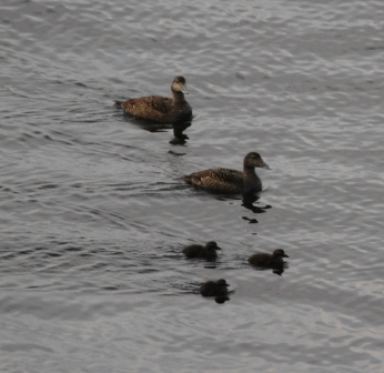 Duck family - Eiderduck family