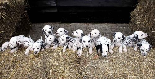 Dalmation puppies - A litter of 16! Their mom was from a litter of 16 also! Wow!